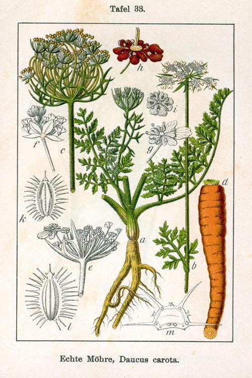 Botanische tekening Daucus Carota, Wortel
