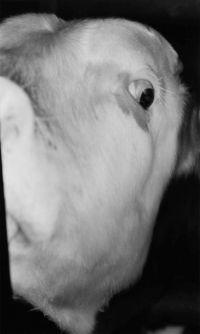 Michael Schmidt, bang kijkende koe